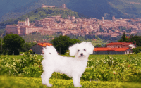 Perillo Tours Harry and Maria features Bichon Frise named Maria as she stands in front of a landscape of an Italian village, a scene from the Perillo Tours Talking Dog Commercial (video production by Merging Media).